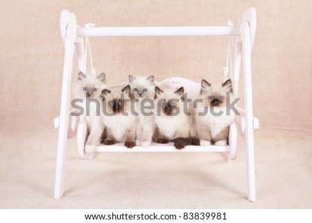 Ragdoll kittens on garden swing - stock photo