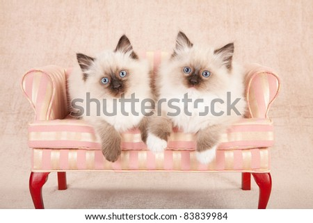 Ragdoll kittens on pink couch sofa chair - stock photo