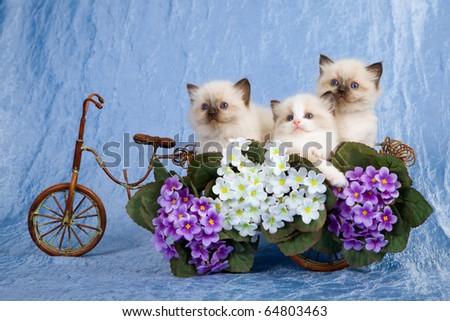 Ragdoll kittens sitting inside floral wagon - stock photo