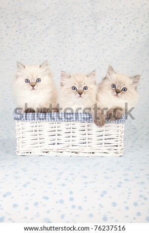 Ragdoll kittens sitting inside white basket on white and blue polka dot background fabric