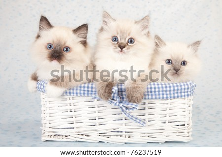 Ragdoll kittens sitting inside white basket on white and blue polka dot background fabric - stock photo