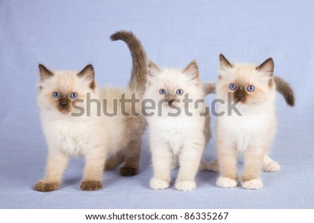 Ragdoll kittens standing on blue background - stock photo