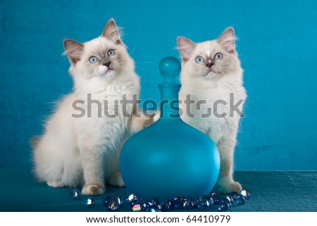 Ragdoll kittens with blue vase and pebbles crystals