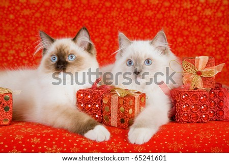 Ragdoll kittens with Christmas gifts presents on red background - stock photo
