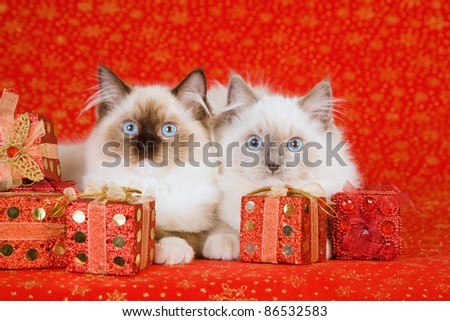 Ragdoll kittens with Christmas presents on red background - stock photo