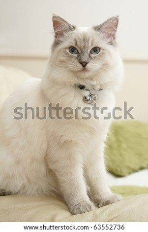 ragdoll 6 months old - stock photo