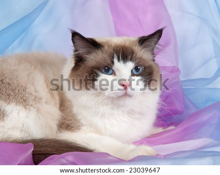 Ragdoll seal bicolor adult on pink blue backdrop 1 - stock photo