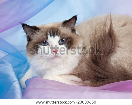 Ragdoll seal bicolor adult on pink blue backdrop 2