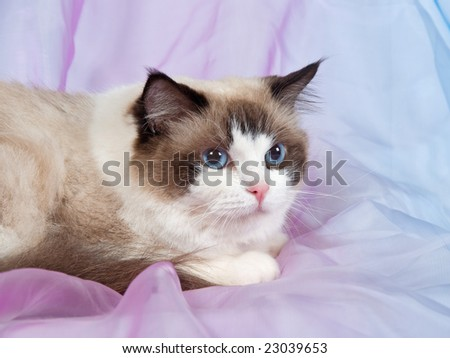 Ragdoll seal bicolor adult on pink blue backdrop 3 - stock photo