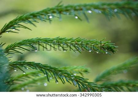 rain drops on a pine tree needles - stock photo