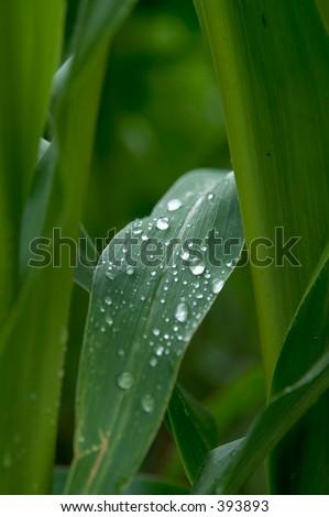 rain drops on corn leaf - stock photo