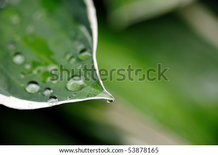 Rain drops on green plant leaves such as Hostas