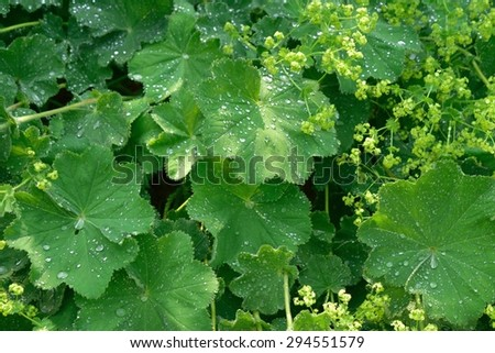 Rain Drops on Lady's Mantle Leaves - stock photo