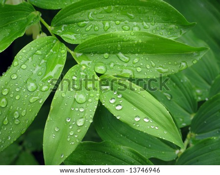 Rain-drops on leaves after rain