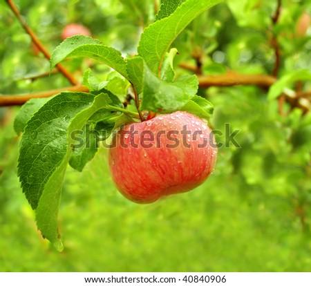 Rain drops on ripe apple - stock photo
