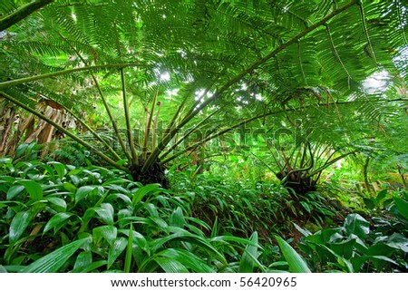 Rain forest scene under the canopy comprised of large palm fronds from Hapu'u palm trees - stock photo