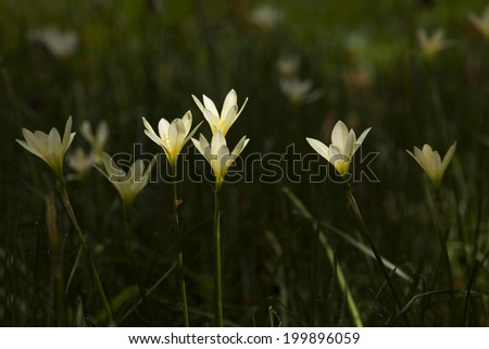 rain lily - stock photo
