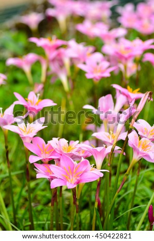 Rain lily flowers (ZEPHYRANTHES PLANT)