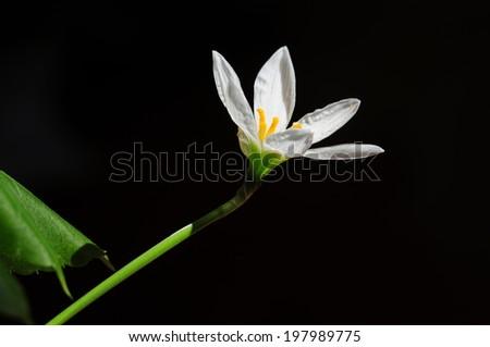 Rain Lily White (Zephyranthes Candida) - stock photo
