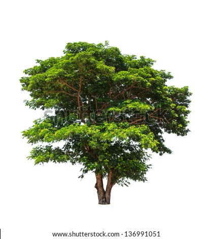 Rain tree (Albizia saman), tropical tree in the northeast of Thailand isolated on white background