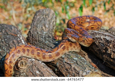Rainbow Boa on Logs - stock photo