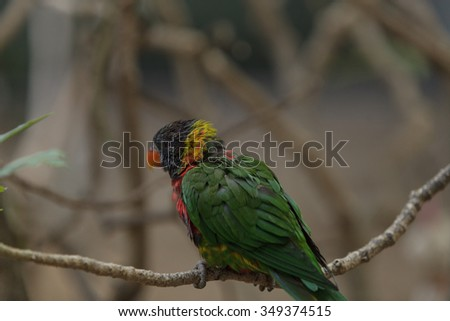 Rainbow Lorikeet bird, Trichoglossus haematodus, is found in the rainforest and woodlands of Australia.