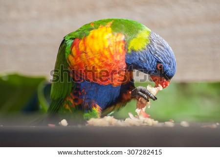 Rainbow Lorikeet eating an apple - stock photo