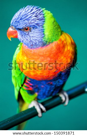 Rainbow Lorikeet isolated on green background - stock photo