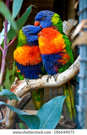 Rainbow Lorikeet pair - stock photo