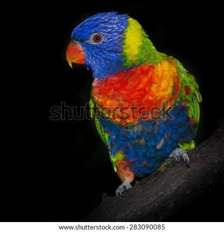 rainbow lorikeet parrot - stock photo