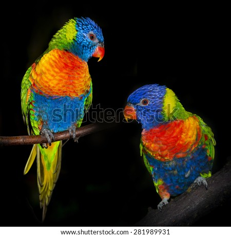 rainbow lorikeet parrots isolated on a black background - stock photo