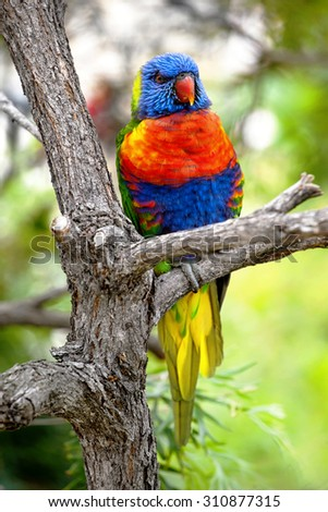 rainbow lorikeet sitting on a branch - stock photo
