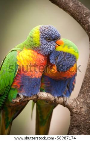 Rainbow Lorikeets - stock photo