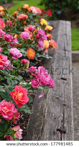 Rainbow of roses growing in a wooden planter box - stock photo