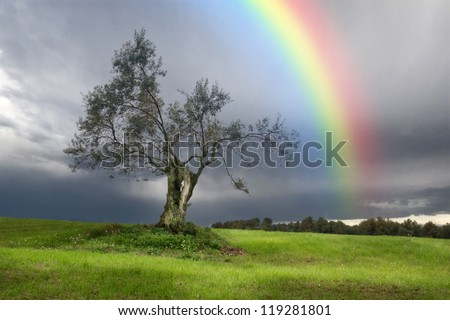 Rainbow over a Lonely olive tree - stock photo