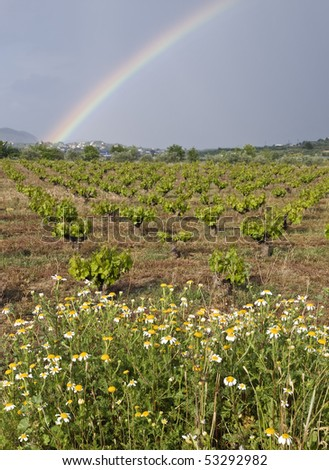 Rainbow over a vineyard, with a few daisies in the foreground - stock photo