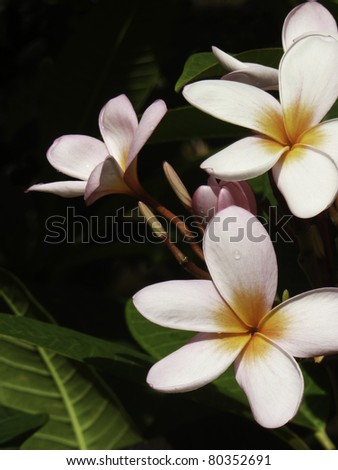 Rainbow plumeria - stock photo