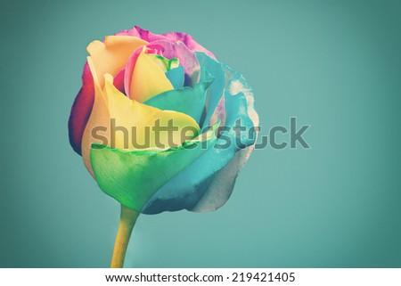 Rainbow rose against blue background. Toned image - stock photo
