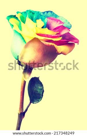 Rainbow rose flower. Toned image - stock photo