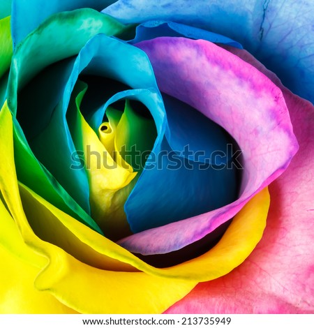 Rainbow rose flower - top view - stock photo