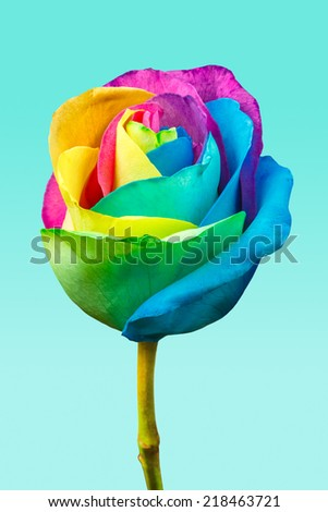 Rainbow rose on a blue background - stock photo