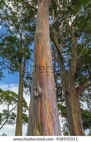 Rainbow trees in Hawaii - stock photo