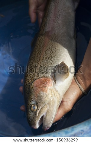 Rainbow Trout grow in flow-through system,northern,Thailand no.5 - stock photo