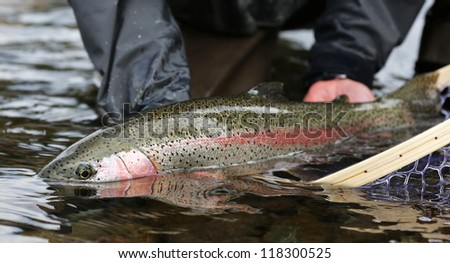 Rainbow Trout Oncorhynchus Mykiss - stock photo