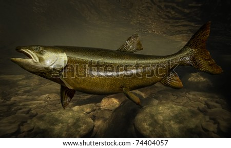 Rainbow Trout under water - stock photo