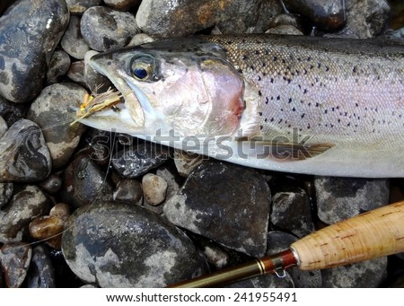 Rainbow Trout with a grasshopper fly in its mouth and fly fishing rod - stock photo