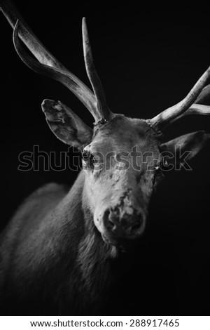 Raindeer black and white - stock photo