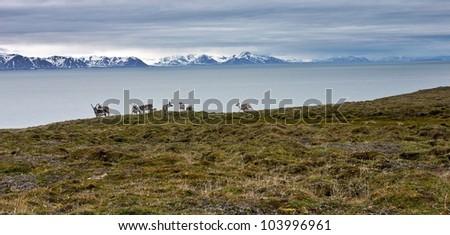 Raindeers on the seashore of Svalbard archipelago in the Arctic - stock photo