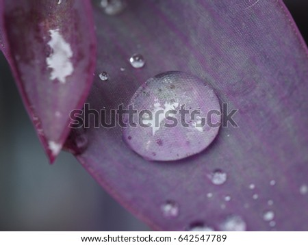 raindrop on a leaf of purple heart plant close up
