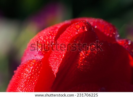 Raindrops on a tulip petal, abstract background